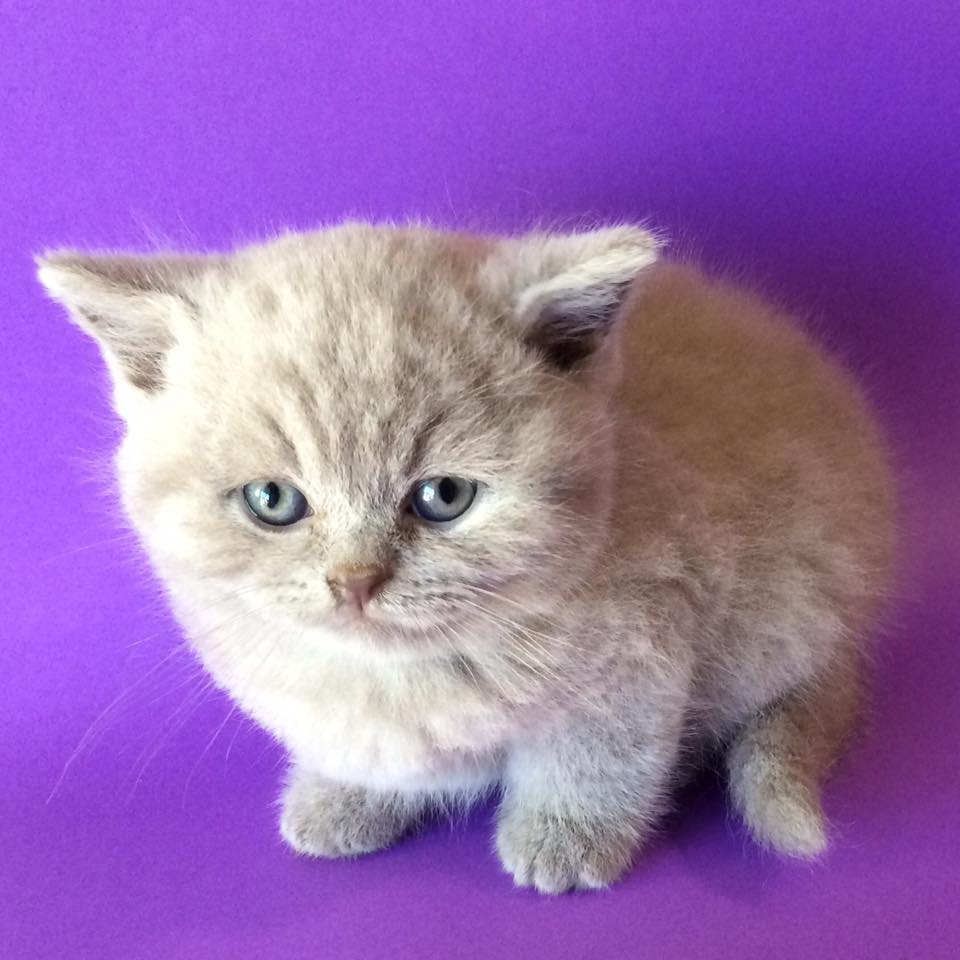Cocatrolis - British Shorthair Breeder - Perth, Western Australia