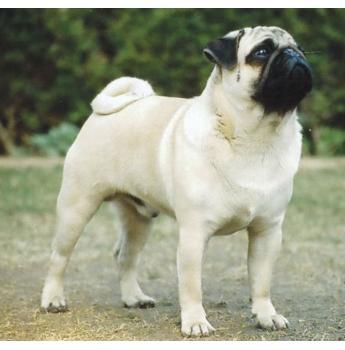 The Pug Dog Club of NSW Inc