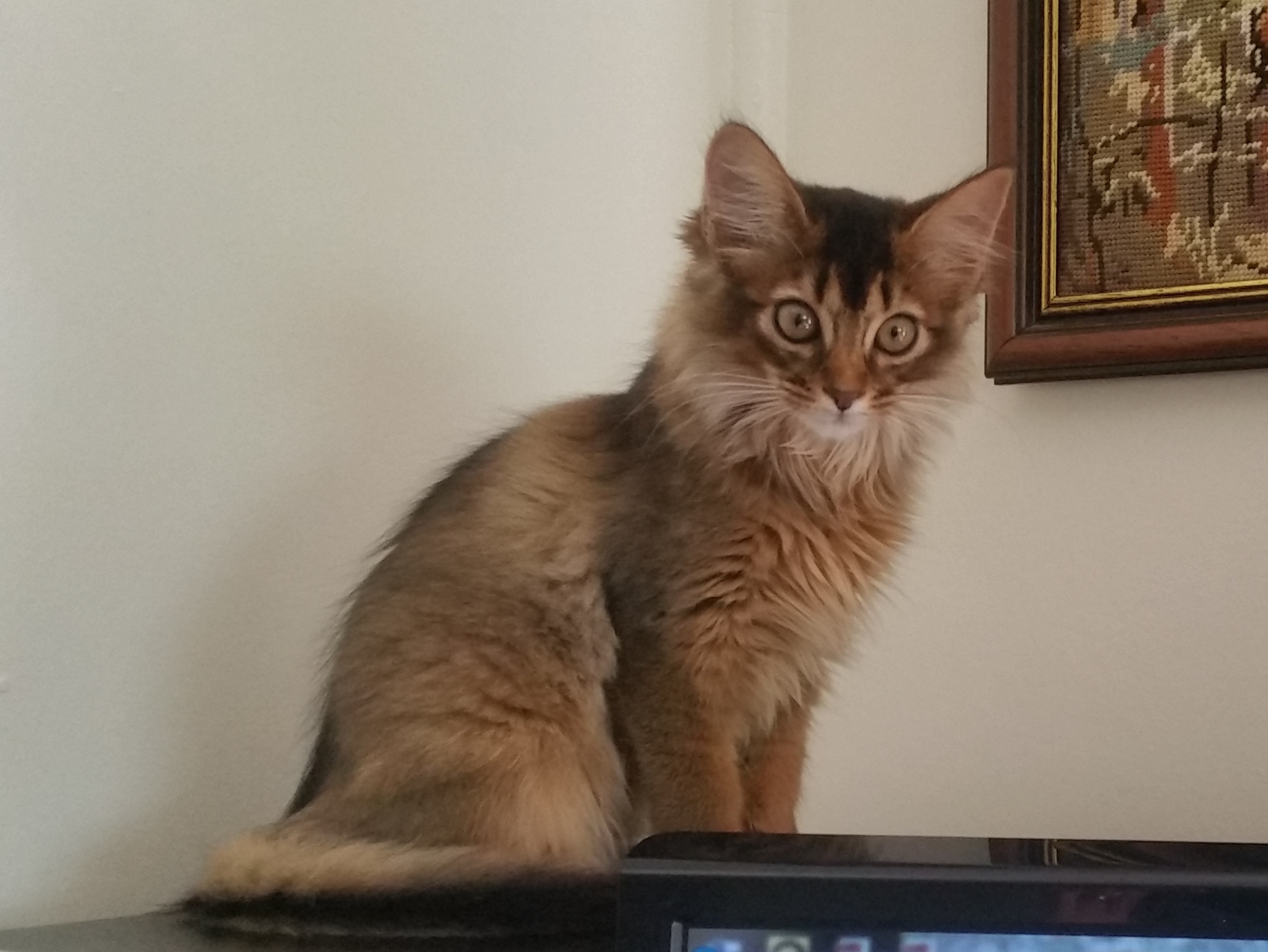 Tawny Somali kitten gallery image