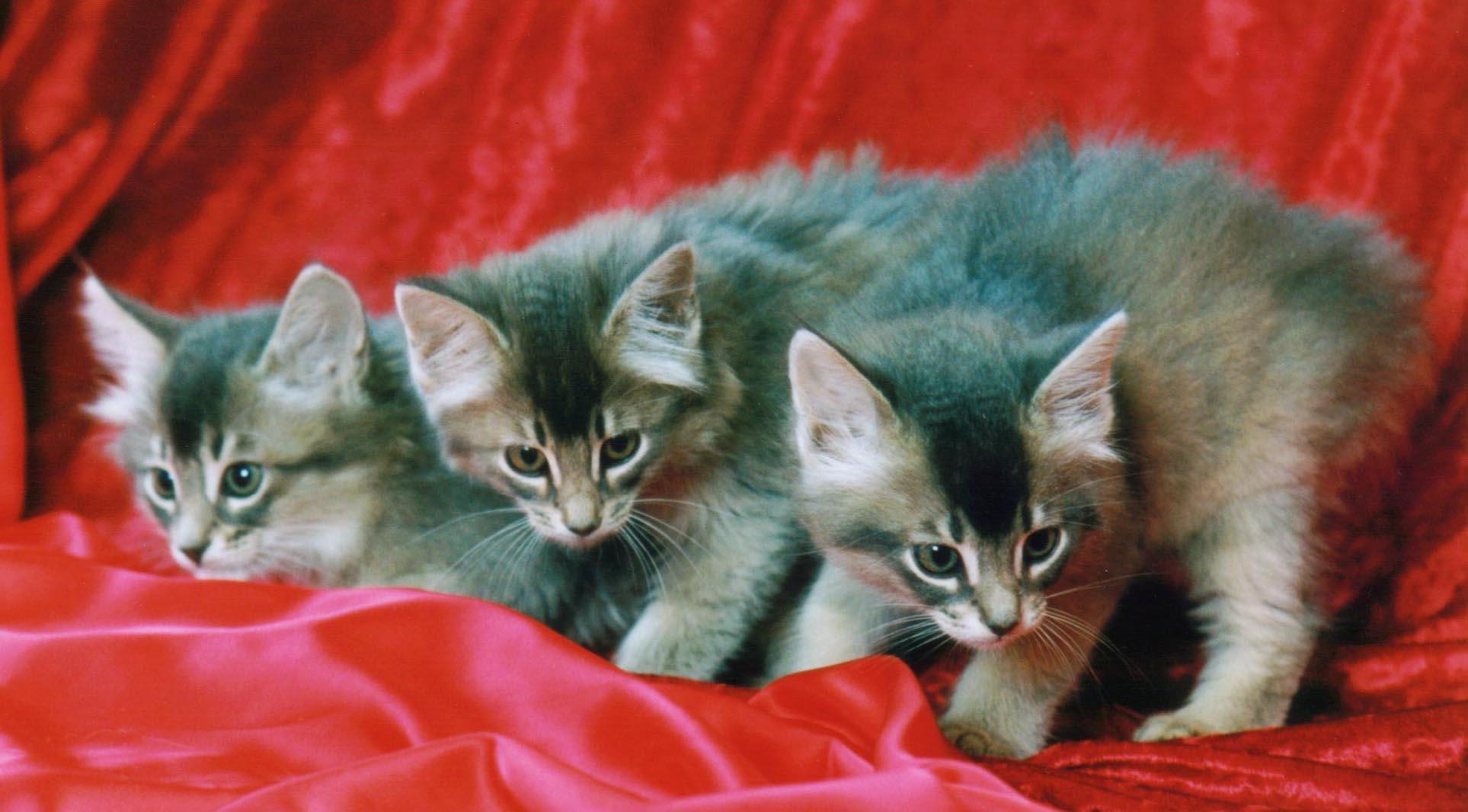 Blue somali kittens gallery image