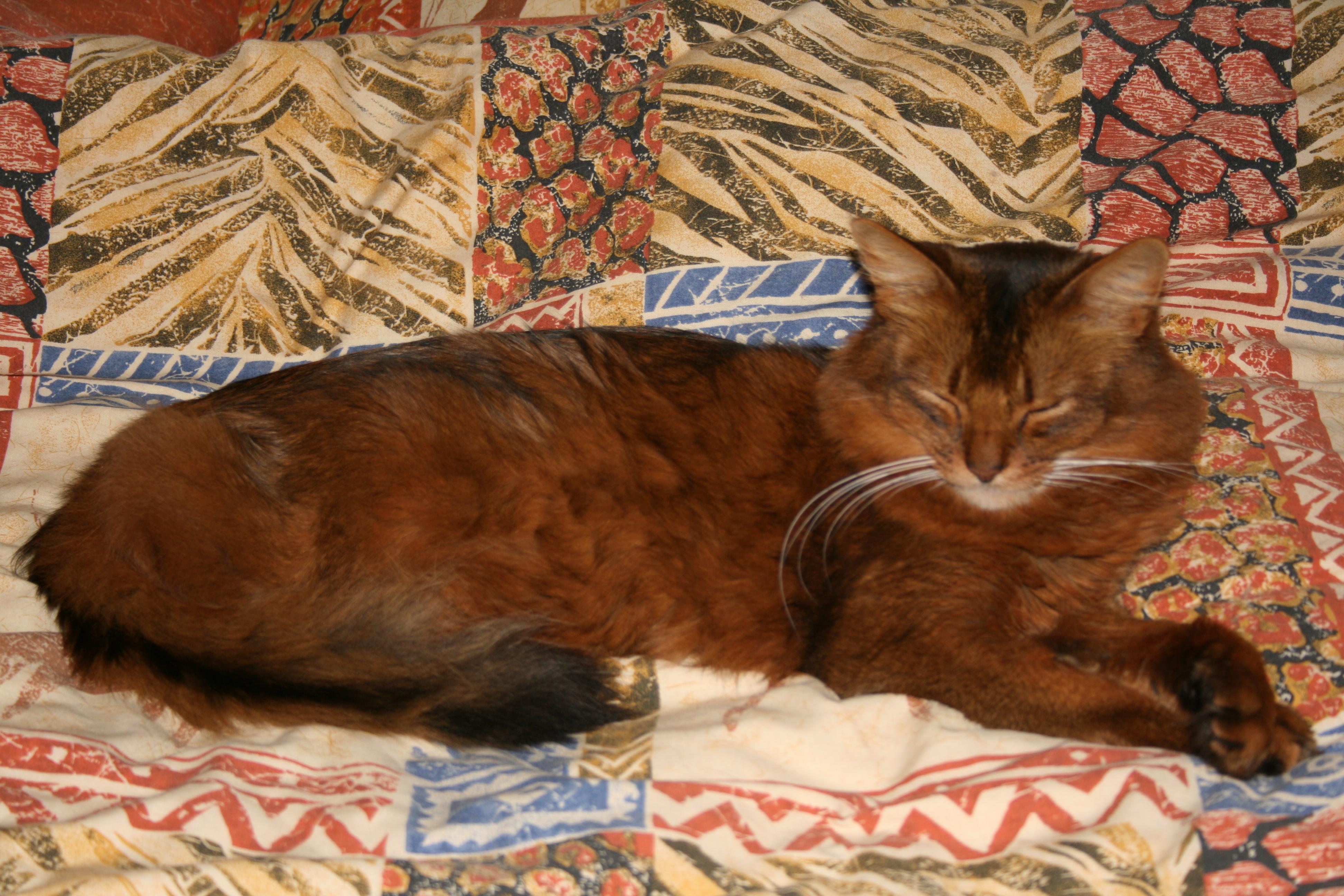 Adult Tawny Somali gallery image