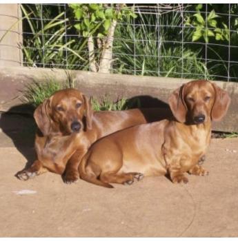 Dachshund Breeders Australia | Dachshund Info & puppies