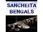 Sancheita Bengals - Bengal Cat Breeder - Adelaide, South Australia