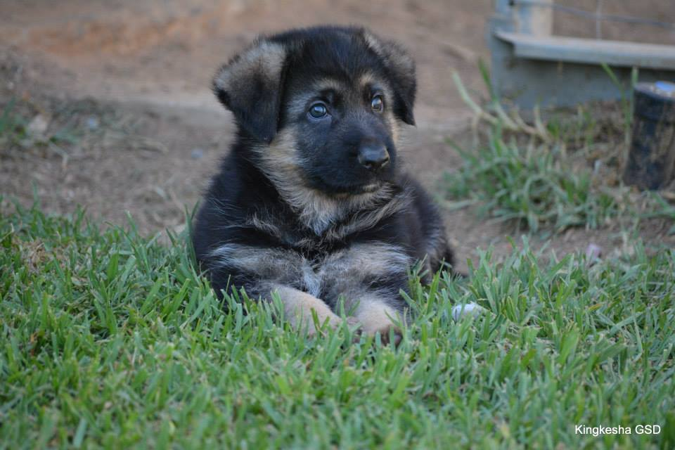 Kingkesha Puppy