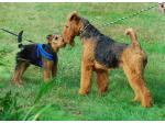 Belltirna Airedales - Airedale Terrier Breeder - Lansdowne, NSW