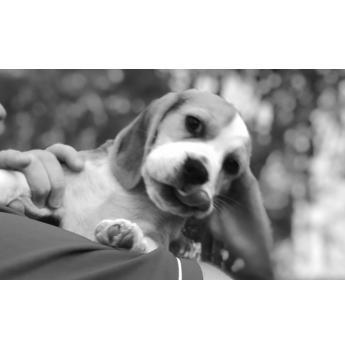 Beagle Breeders Australia Beagle Info Puppies