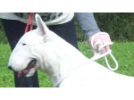 Bullpatchy Bull Terriers - Bull Terrier Breeder - Victoria