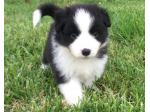 EsperanzaMia - Border Collie Breeder - Corndale, NSW