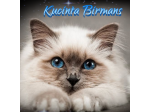 Kucinta Birmans - Birman Breeder -  Launceston, Tamania