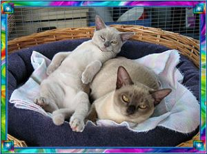 Chocolate Burmese mum and Lilac Bub gallery image
