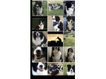 KOLORKO Border Collies - Brisbane, QLD