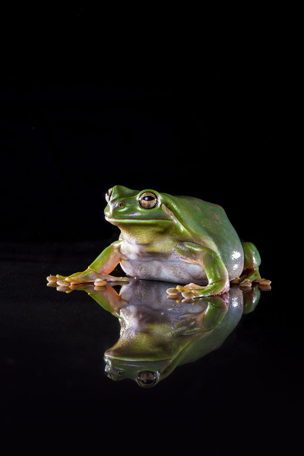 Oslo the Green Tree Frog