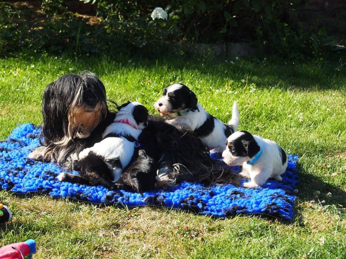 Ellingly Havanese Puppy's