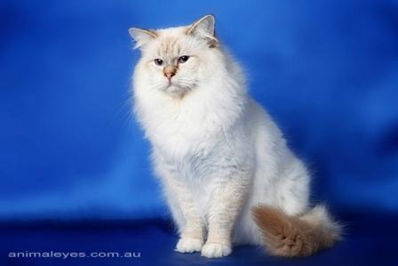 Ragdoll cat breeders perth
