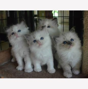 Ragdoll Breeders Australia | Ragdoll Info & kittens