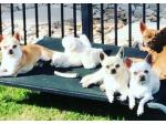 Nirechi Chihuahua - Chihuahua Breeder - Brisbane, QLD