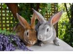 Orion Rabbitry - Rex Rabbit Breeder - Mornington Peninsula, VIC