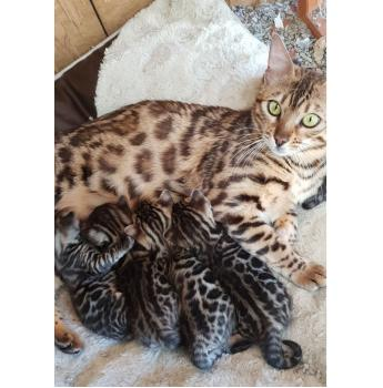 Leosleapards Quality Bengal Cat Breeder Wollongong Nsw