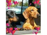 'Made in Tas' Miniature Smooth Dachshund Breeder - Launceston, TAS