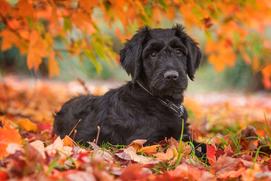 Briard puppy - photo by Geelong Pet Photography gallery image