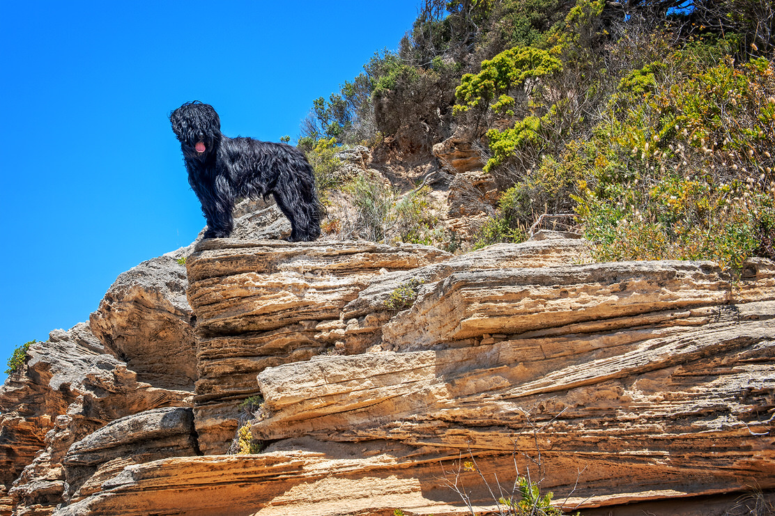 Briard - photo by Geelong Pet Photography gallery image