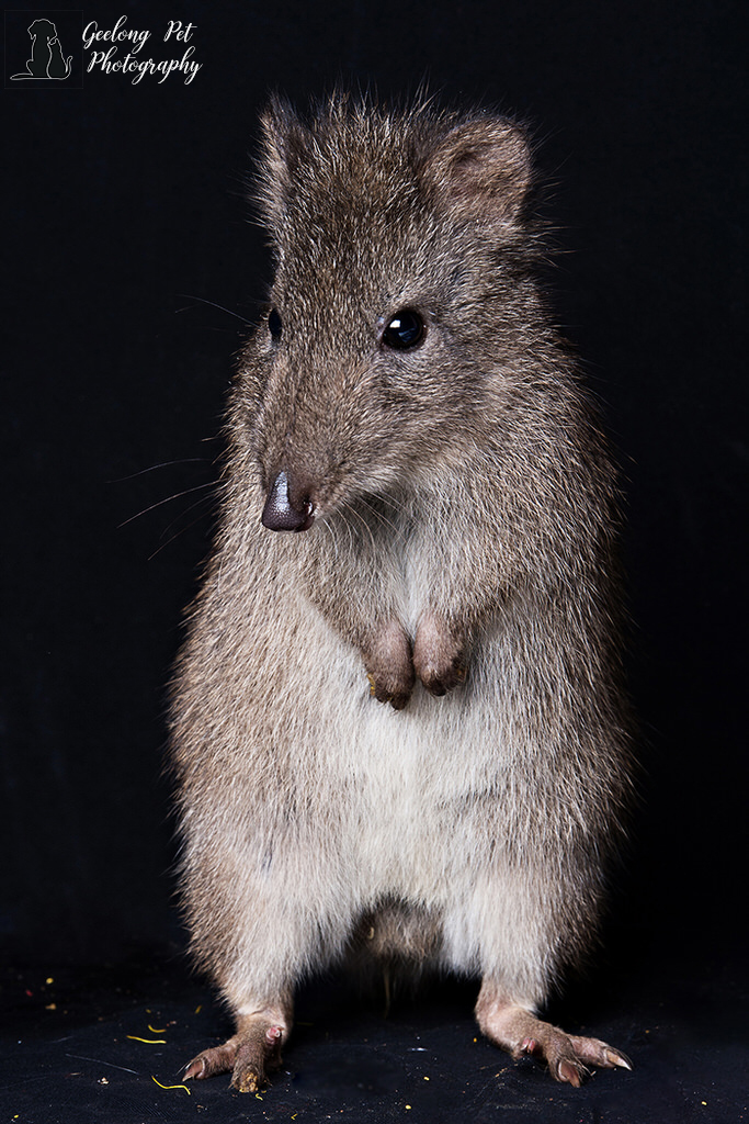 Potoroo -  photo by Geelong Pet Photography gallery image