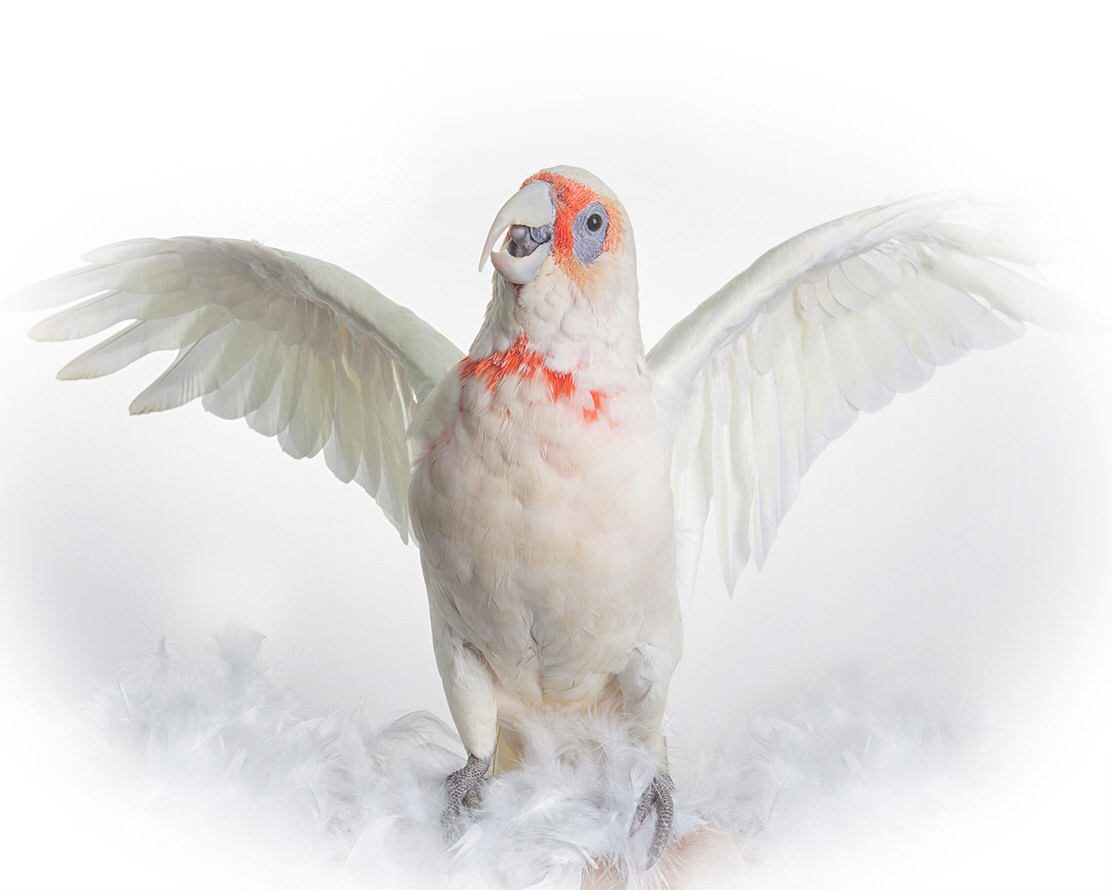 Long-billed Corella - photo by Geelong Pet Photogr gallery image