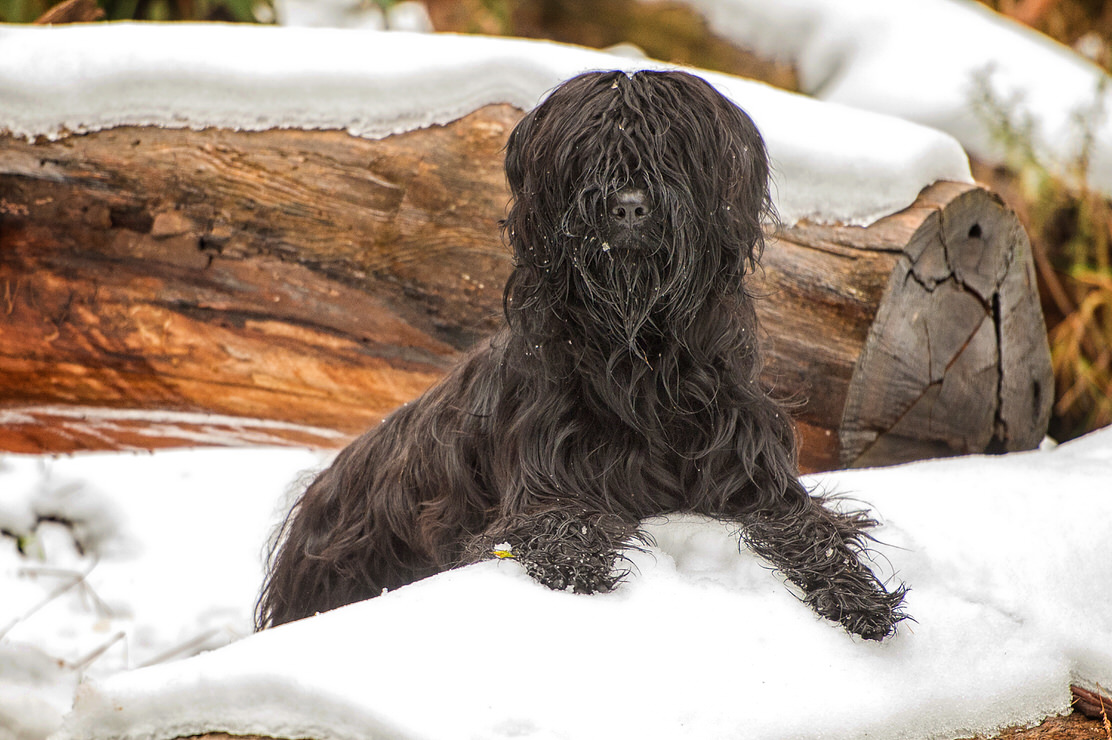 Briard - photo by Geelong Pet Photography