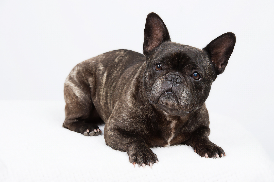 French Bulldog - photo by Geelong Pet Photography gallery image