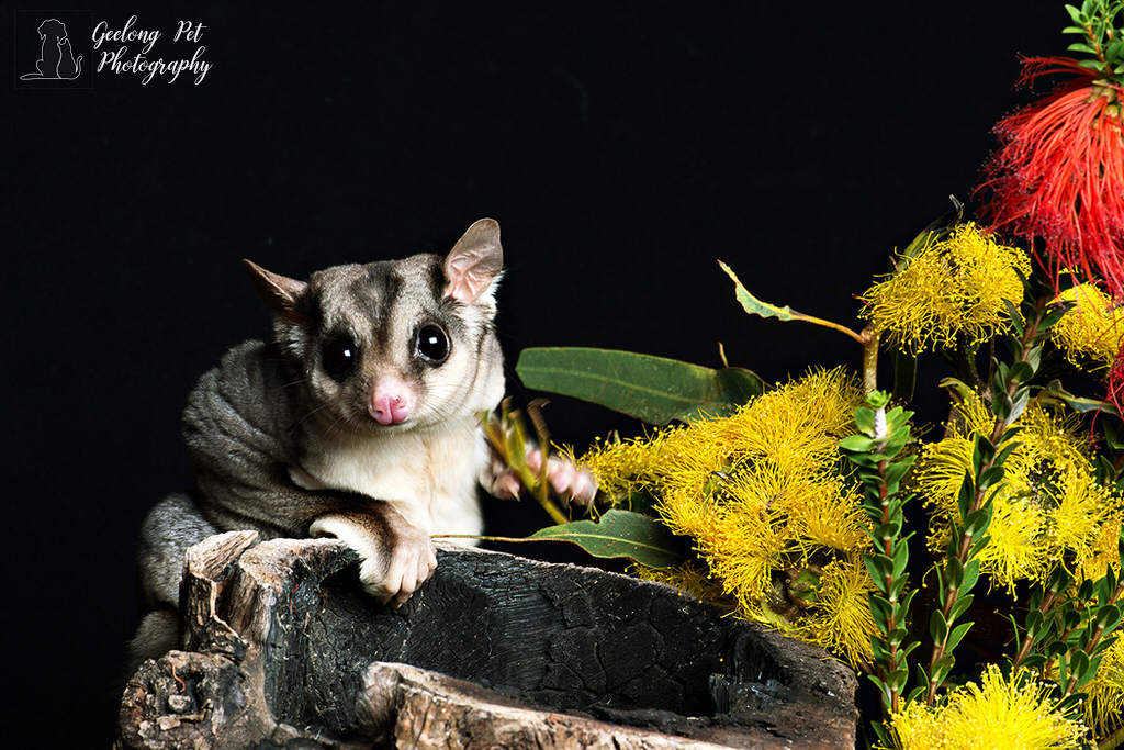 Sugar Glider -  photo by Geelong Pet Photography gallery image