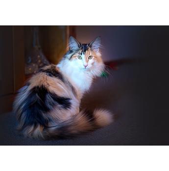 Fairwind Forest Cats - Norwegian Forest Cat Breeder - Tasmania