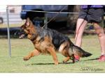 Wohlstand Kennels - German Shepherd Breeder - Perth, WA