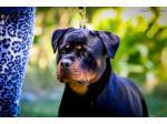 VONHALLA Rottweilers - Rottweiler Breeder - Perth, WA