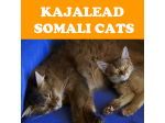 Kajalead  - Somali & Siamese Cat Breeder - Hawkesbury District, NSW