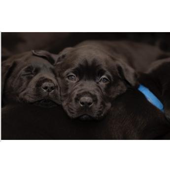 Therapaws Kennels - French Bulldog & Labrador Retriever Breeder - Geelong, Victoria
