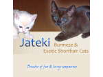 Jateki - Burmese & Tonkinese Cat Breeder - Queensland