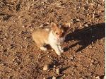 Chilovechi - Chihuahua Breeder - South Australia
