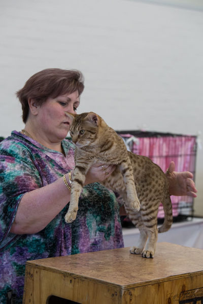 Monkey at a show - Ocicat gallery image