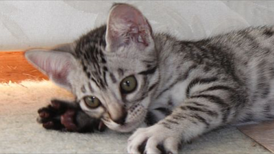 Petals as a baby - Ocicat gallery image