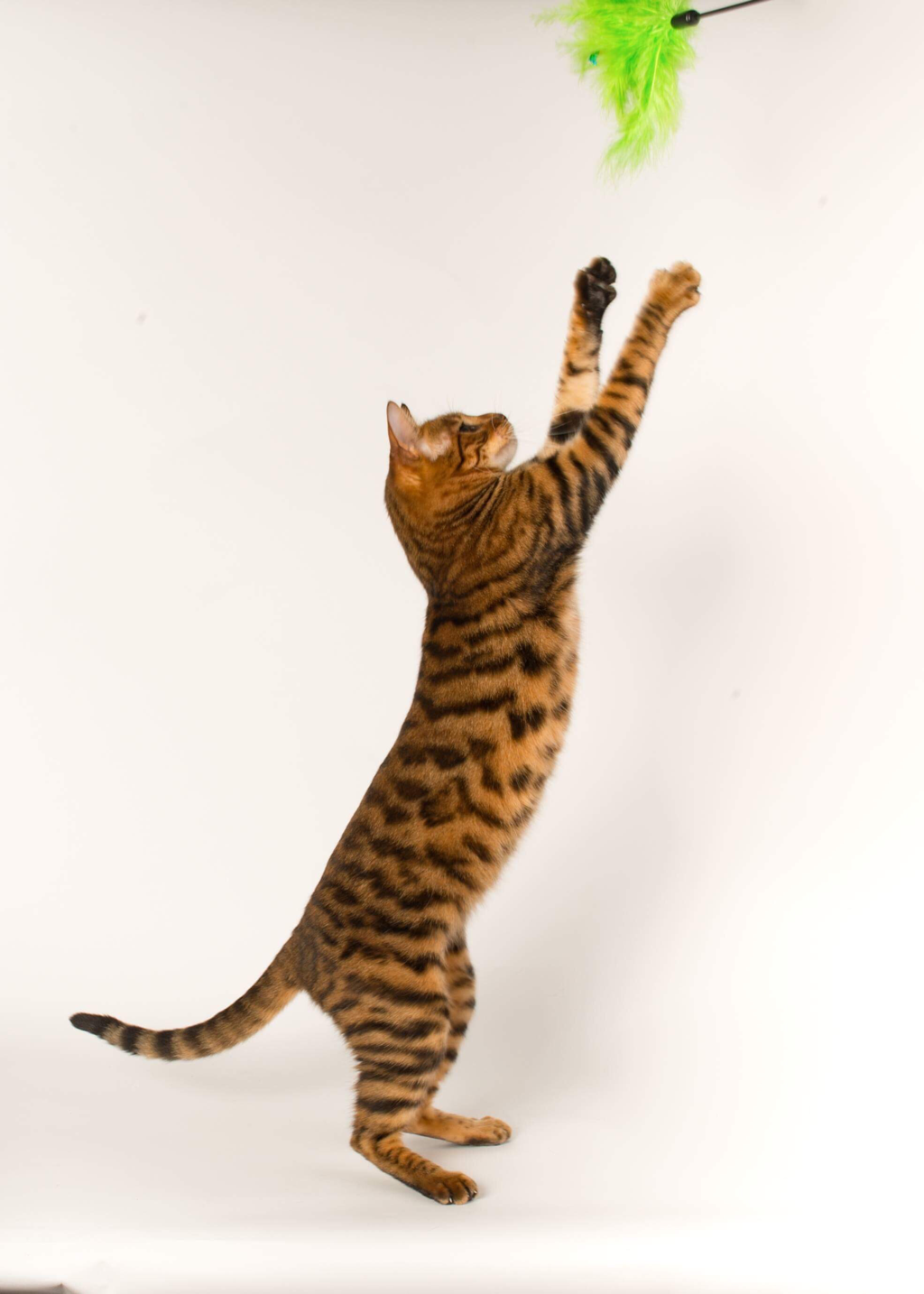 Missy - Toyger gallery image