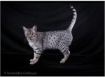 Jasmarez cats - Cats with the Look of the Wild - Adelaide