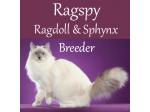 Ragspy - Sphynx & Ragdoll Breeder - Perth, Western Australia