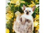 Siamese Breeders Australia   Siamese Info & kittens