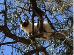 Ktique -  Birman Cat Breeder - Gold Coast,QLD