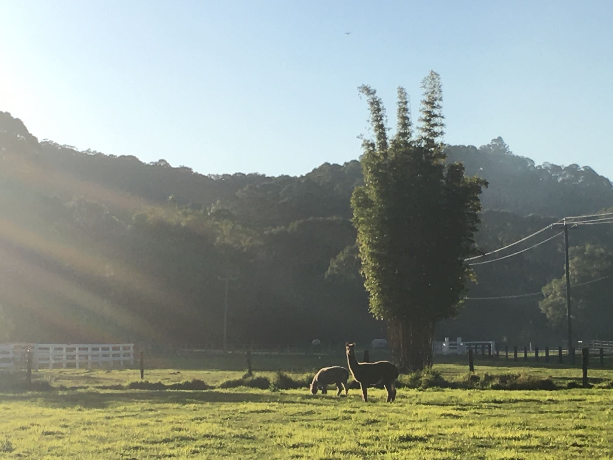 Our alpacas Billy and Emmy grazing in the paddock. gallery image