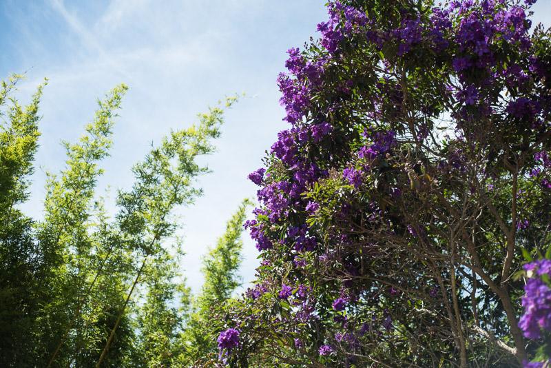 Beautiful flowering tibochina tree. gallery image