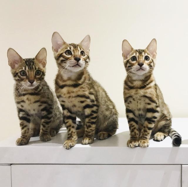 Ambercats Bengal Cat Breeder Gold Coast Qld