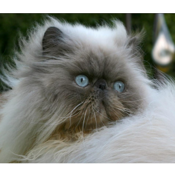 Registered Maine Coon Cat Breeders In Melbourne