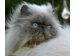 Romeouws Persian & Exotic Cat Breeder - Sunbury, VIC