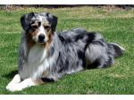 Ausdreaming - Australian Shepherd Breeder - Somerville, VIC